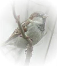Dominoes Sparrow
